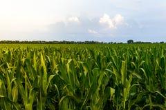 Rangée de maïs vert sous le ciel bleu au lever de soleil/au coucher du soleil Images stock