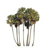 Rangée de palmier de sucre d'isolement sur le fond blanc Images stock