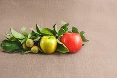 rangée de pomme en degré de maturité photos stock