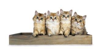Rangée de quatre chatons à cheveux longs britanniques d'or de chat se reposant dans un plateau en bois, regardant directement en  photographie stock
