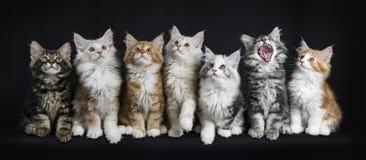 Rangée de sept chats de ragondin du Maine sur le noir Images libres de droits