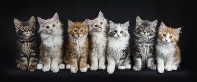 Rangée de sept chats de ragondin du Maine sur le noir Images stock