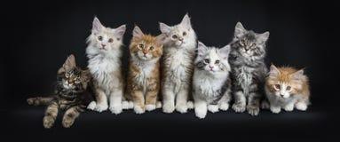 Rangée de sept chats de ragondin du Maine sur le noir Photographie stock libre de droits
