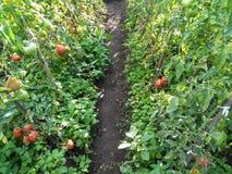 Rangée de tomate Photographie stock libre de droits