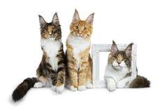 Rangée de trois chatons de chat de Maine Coon, deux se reposant et s'étendant troisièmement par un photoframe blanc, tout le rega photos libres de droits