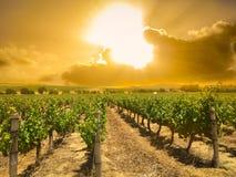 Rangée de vignoble plantée pour le vin près du temps de coucher du soleil photographie stock