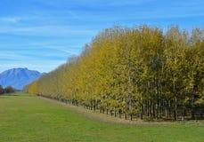 Rangée des arbres avec les feuilles jaunes Photo stock