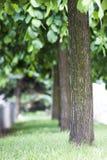 Rangée des arbres dans l'allée brouillée image libre de droits