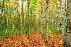 Rangée des arbres de cendre argentée Images stock