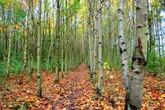 Rangée des arbres de cendre argentée Photo libre de droits