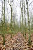 Rangée des arbres de cendre argentée Photographie stock libre de droits