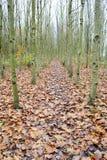 Rangée des arbres de cendre argentée Photo stock