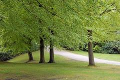 Rangée des arbres de hêtre en parc de Tatton, R-U Image libre de droits