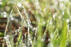 Rangée des baisses de rosée tôt sur des lames d'herbe illuminées par le Soleil Levant Photo libre de droits