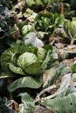 Rangée des choux dans le petit jardin de ferme Images libres de droits