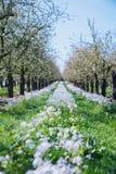 Rangée des fleurs entre les pommiers image stock