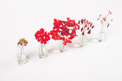 Rangée des fleurs rouges dans des pots en verre, cycle de la fleur à défraîchir Images stock