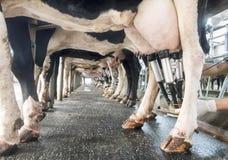 Rangée des vaches étant traites Photos stock