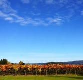 Rangée des vignes d'automne Photographie stock libre de droits