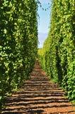 Rangée des vignes d'houblon photographie stock libre de droits