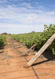 Rangée des vignes de Chardonnay endommagées par vent Images stock