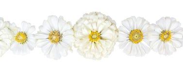 Rangée des zinnias d'inflorescences sur un fond blanc Photos libres de droits