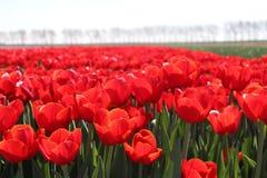 rangée du type rouge &#x22 de tulipes ; rescue&#x22 ; au soleil dans les rangées dans une longue Floride Photographie stock libre de droits