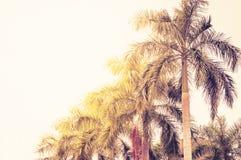 Rangée faite un pas des cocotiers à diminuer dans la perspective photos libres de droits