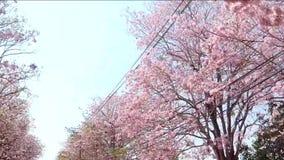 Rangée rose d'arbre de trompette à la route clips vidéos