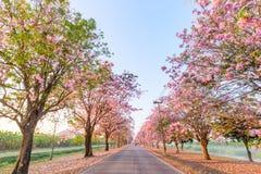 Rangée rose d'arbre de trompette avec la brume dans le temps de lever de soleil photographie stock libre de droits