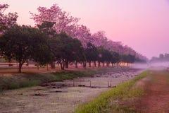 Rangée rose d'arbre de trompette avec la brume dans le temps de lever de soleil images libres de droits