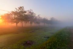 Rangée rose d'arbre de trompette avec la brume dans le temps de lever de soleil photos libres de droits