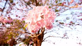Rangée rose d'arbre de trompette banque de vidéos