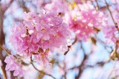Rangée rose d'arbre de trompette images libres de droits