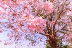 Rangée rose d'arbre de trompette photographie stock libre de droits