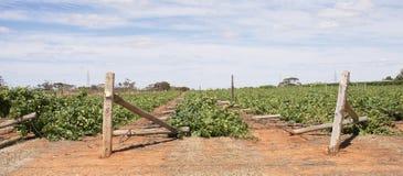 Rangées aplaties des vignes de Chardonnay endommagées par vent Image libre de droits