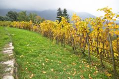 Rangées colorées de vignoble dans l'élevage de vin en automne /Italy Photo libre de droits