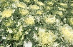 Rangées colorées du genre différent de laitue planté dans le jardin Image stock
