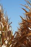Rangées d'or sèches de maïs Images libres de droits