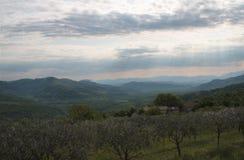 Rangées de champ d'olivier Photo stock