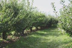 Rangées de champ de pommiers Image libre de droits