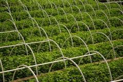 Rangées de ferme de cannabis image libre de droits