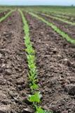 Rangées de gisement de soja photographie stock libre de droits