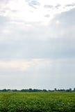 Rangées de gisement de soja en été Photographie stock