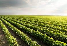 Rangées de gisement de soja images stock