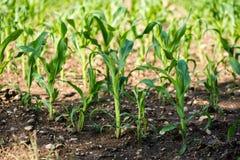 Rangées de jeune maïs s'élevant sur un champ Photographie stock