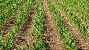 Rangées de jeune maïs s'élevant sur un champ Photos stock
