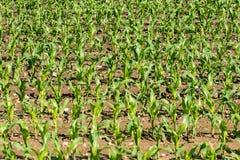 Rangées de jeune maïs s'élevant sur un champ Images stock