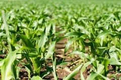 Rangées de jeune maïs s'élevant sur un champ Photo libre de droits