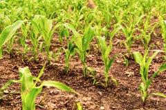 Rangées de jeune maïs s'élevant sur un champ Photographie stock libre de droits
